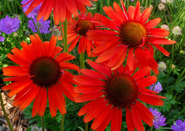 Echinacea_hot_lava_.detail