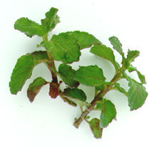Mint_mentha_aquatica_citrata_grapefruit-1.full