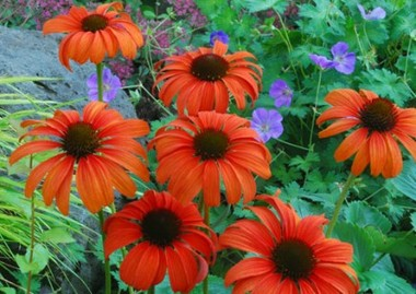 Echinacea_tangerine_dream_.detail