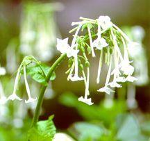 Tobacco, Flowering