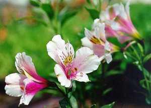 Peruvian Lily, 'Nearly White'