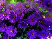 Aster, New England 'Purple Dome'