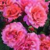 Floribundas_rose_easy_does_it_tm-2.thumb