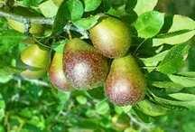 Pear Tree, Seckel dwarf