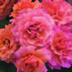 Floribundas_rose_easy_does_it_tm-3.thumb