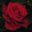 Floribundas_rose_drop_dead_red.thumb