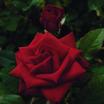 Floribundas_rose_drop_dead_red-1.thumb