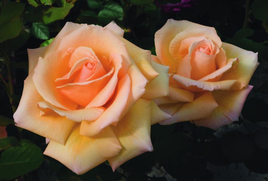 Hybrid_teas_rose_over_the_moom_tm.full