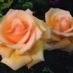 Rose, 'Over the Moom' (tm)