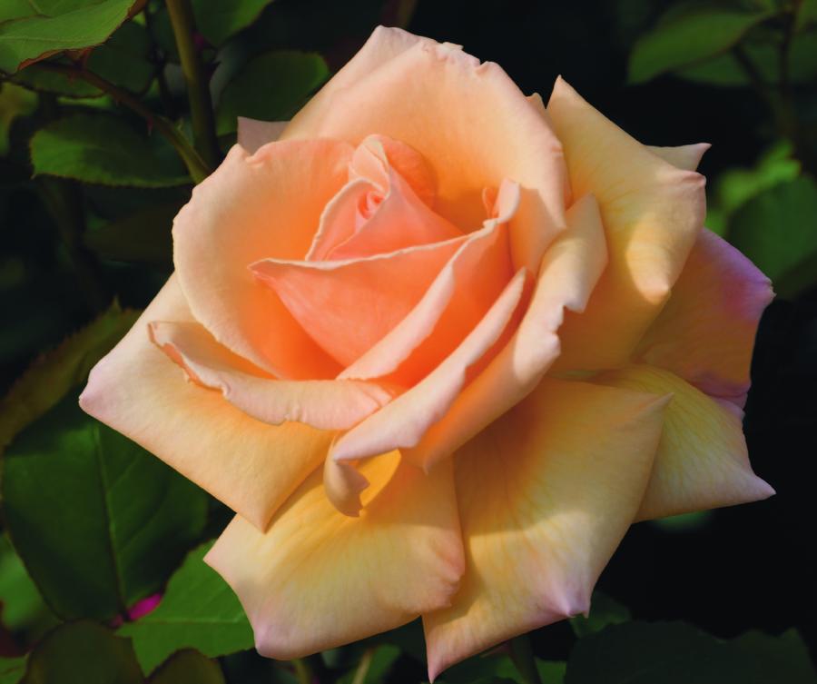 Hybrid_teas_rose_over_the_moom_tm-1.full