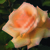 Hybrid_teas_rose_over_the_moom_tm-1.small