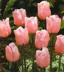 Tulip, Single Late 'Esther'