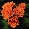 Floribundas_rose_pumpkin_patch_tm-1.thumb