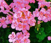 Geranium, Zonal 'Bubblegum'