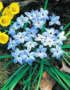 Starflower, Spring