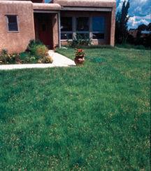 Grasses_buchloe_dactyloides_plains-1.full