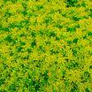 Stonecrop, Gold Moss