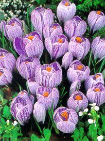 Crocus, Large Flowering Dutch 'Pickwick'