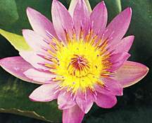 Water Lily, 'Ruby' (Day Blooming Tropical)