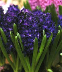 Hyacinth, Dutch 'Blue Magic'