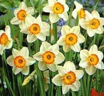 Daffodils_and_narcissus_narcissus_flower_record-1.full