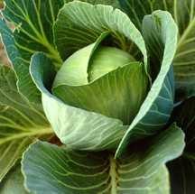 Cabbage, 'Dynamo' Hybrid