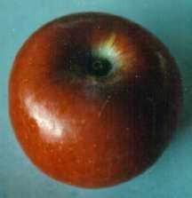 Apple Tree, Semi-dwarf 'Fameuse' (Snow Apple) (prior to 1824)