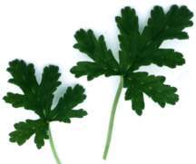 Scented Geranium, Staghorn Peppermint