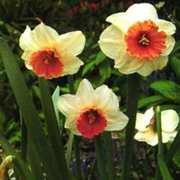 Daffodils_and_narcissus_narcissus_cyclamineus_foundling-1.full