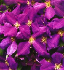 Clematis, Large-Flowered Jackmanii