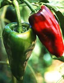 Pepper, Chile 'Ancho/Poblano' (Mexican Heirloom, Mid-1800's)