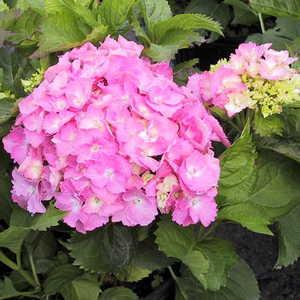 Hydrangea, Big Leaf 'Pink'