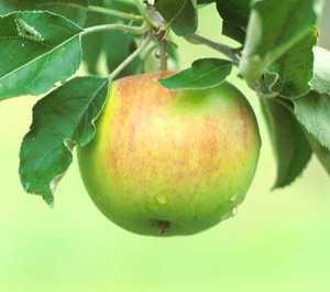 Apple Tree, Semi-dwarf 'Tompkins County King'