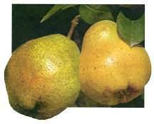 Pear Tree, 'Kieffer' dwarf