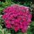 Dianthussuprapurplelg_1_.small