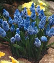 Hyacinths_muscari_azureum-1.full