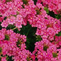 Verbena, Tapien® 'Pink'