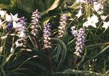 Hyacinths_muscari_ambrosiacum_m._muscarimi-1.full