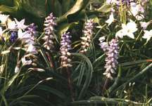 Hyacinth, Grape Ambrosia