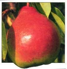 Pear Tree, Moonglow dwarf