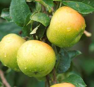 Apple Tree, Semi-dwarf 'Yellow Newtown Pippin'