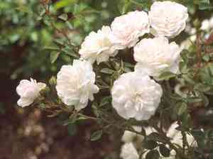 modern roses rosa 39 white meidiland 39 tm. Black Bedroom Furniture Sets. Home Design Ideas
