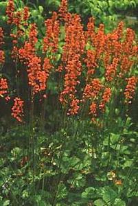 Coral Bells, 'Raspberry Regal'