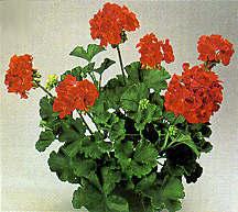 Geranium, Zonal 'Sincerely Yours'