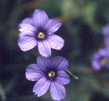 Sisyrinchium, 'Devon Skies'