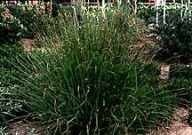 Grass, Maiden 'Gracillimus'