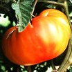 Tomato, Bicolor Big Rainbow (American Heirloom, Pre-1900)