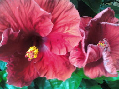 Two_red_hibiscus.detail