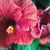 Two_red_hibiscus.small