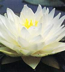 Water Lily, Gonnere (Hardy)